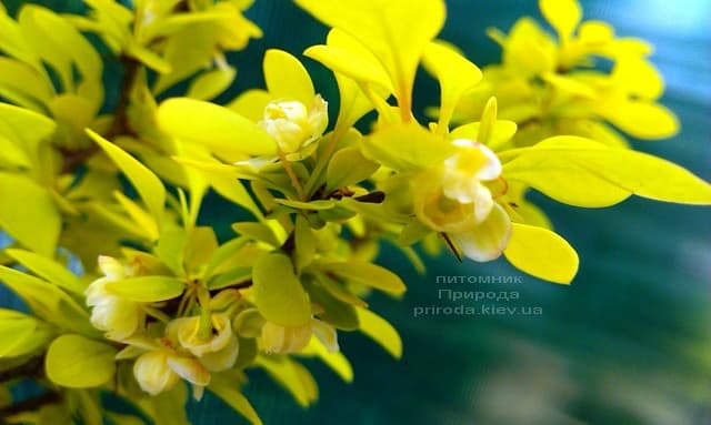 Барбарис Тунберга Голден Девіне (Berberis thunbergii Golden Devine) ФОТО Розплідник рослин Природа (2)