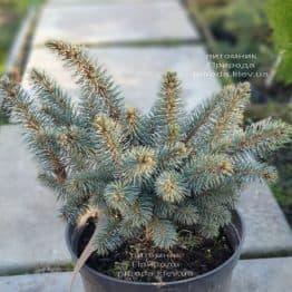 Ель Глаука Глобоза (Picea pungens Glauca Globosa) ФОТО Питомник растений Природа (10)