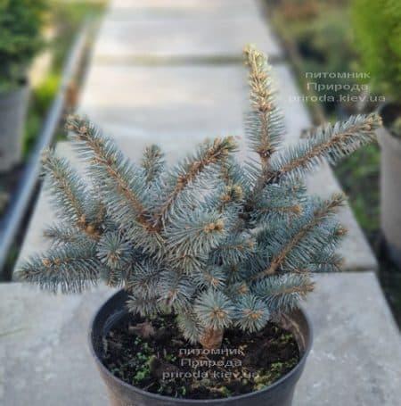 Ель Глаука Глобоза (Picea pungens Glauca Globosa) ФОТО Питомник растений Природа (11)