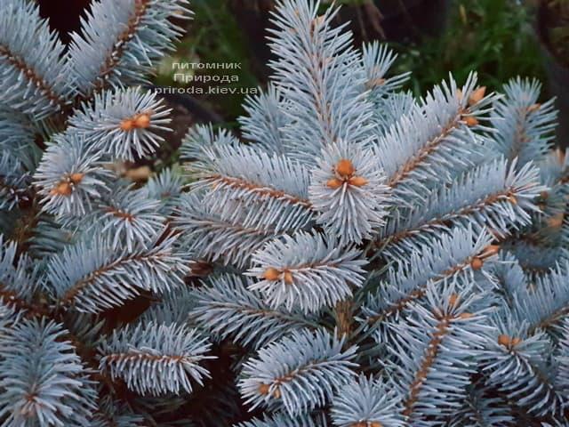 Ель Глаука Глобоза (Picea pungens Glauca Globosa) ФОТО Питомник растений Природа (13)