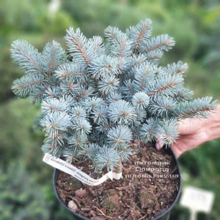 Ель Глаука Глобоза (Picea pungens Glauca Globosa) ФОТО Питомник растений Природа (15)