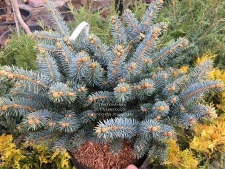 Ель Глаука Глобоза (Picea pungens Glauca Globosa) ФОТО Питомник растений Природа (16)