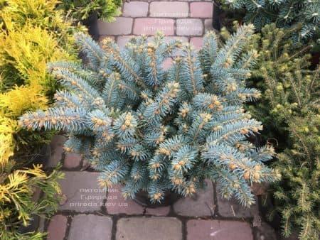 Ель Глаука Глобоза (Picea pungens Glauca Globosa) ФОТО Питомник растений Природа (17)