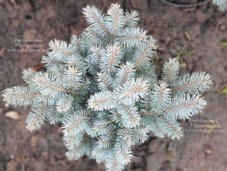 Ель Глаука Глобоза (Picea pungens Glauca Globosa) ФОТО Питомник растений Природа (18)