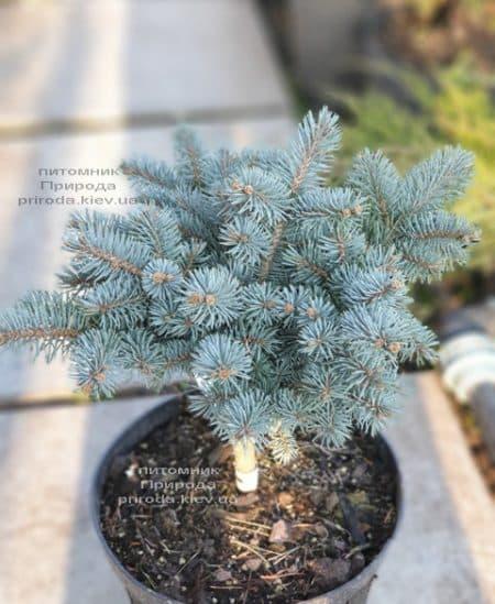 Ель Глаука Глобоза (Picea pungens Glauca Globosa) ФОТО Питомник растений Природа (19)