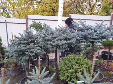 Ель голубая Глаука Глобоза (Picea pungens Glauca Globosa) на штамбе ФОТО Питомник растений Природа (10)