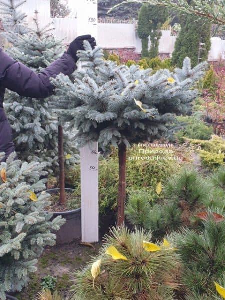 Ель голубая Глаука Глобоза (Picea pungens Glauca Globosa) на штамбе ФОТО Питомник растений Природа (11)