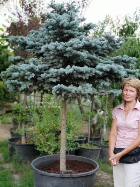 Ель голубая Глаука Глобоза (Picea pungens Glauca Globosa) на штамбе ФОТО Питомник растений Природа (5)