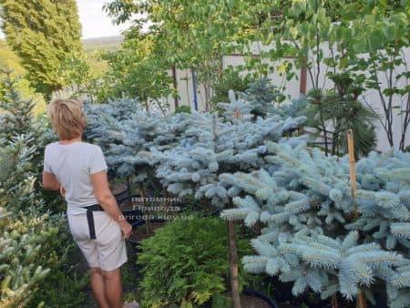 Ель голубая Глаука Глобоза (Picea pungens Glauca Globosa) на штамбе ФОТО Питомник растений Природа (6)