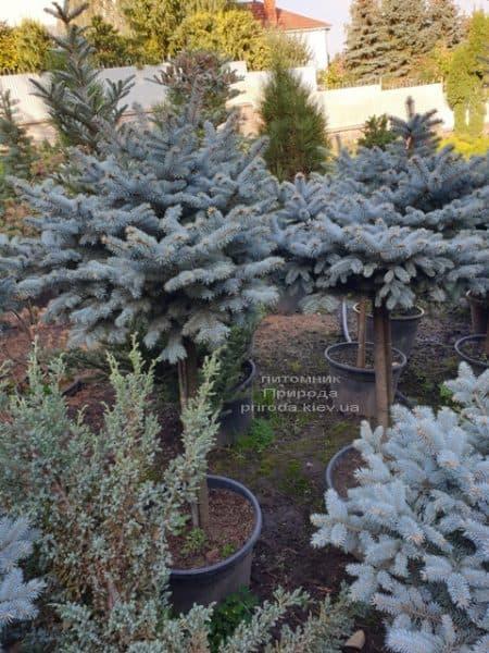 Ель голубая Глаука Глобоза (Picea pungens Glauca Globosa) на штамбе ФОТО Питомник растений Природа (7)
