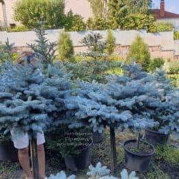 Ялина блакитна Глаука Глобоза (Picea pungens Glauca Globosa) на штамбі ФОТО Розплідник рослин Природа (8)