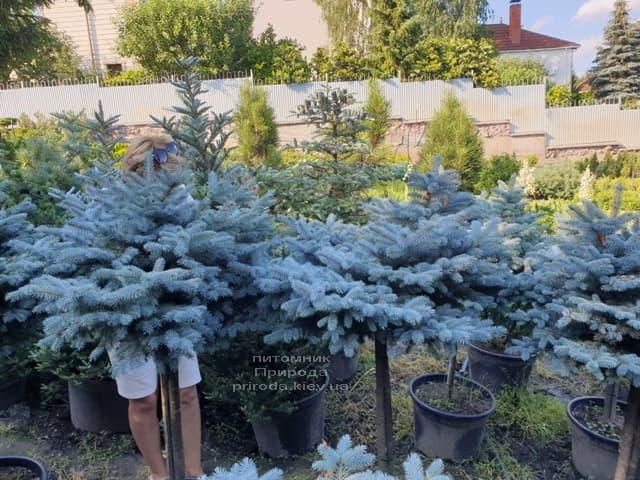 Ель голубая Глаука Глобоза (Picea pungens Glauca Globosa) на штамбе ФОТО Питомник растений Природа (8)