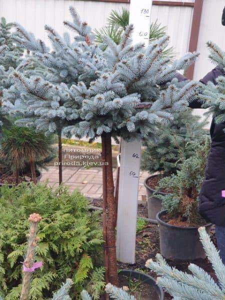 Ель голубая Глаука Глобоза (Picea pungens Glauca Globosa) на штамбе ФОТО Питомник растений Природа (9)