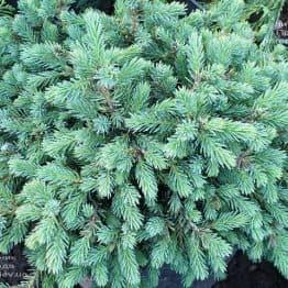 Ель канадская (сизая) Нана (Picea glauca Nana) ФОТО Питомник растений Природа (1)