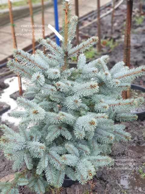 Ялина блакитна Ольденбург (Picea pungens Oldenburg) ФОТО Розплідник рослин Природа (1)