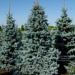 Ялина блакитна Ольденбург (Picea pungens Oldenburg) ФОТО Розплідник рослин Природа (3)