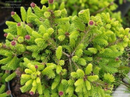 Ялина звичайна Пуш (Picea abies Pusch) ФОТО Розплідник рослин Природа (9)