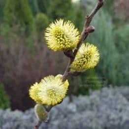 Ива козья ФОТО Питомник растений Природа (2)