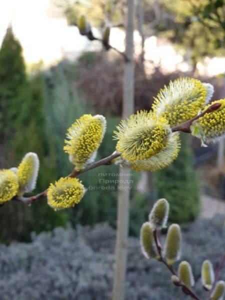 Ива козья ФОТО Питомник растений Природа (3)