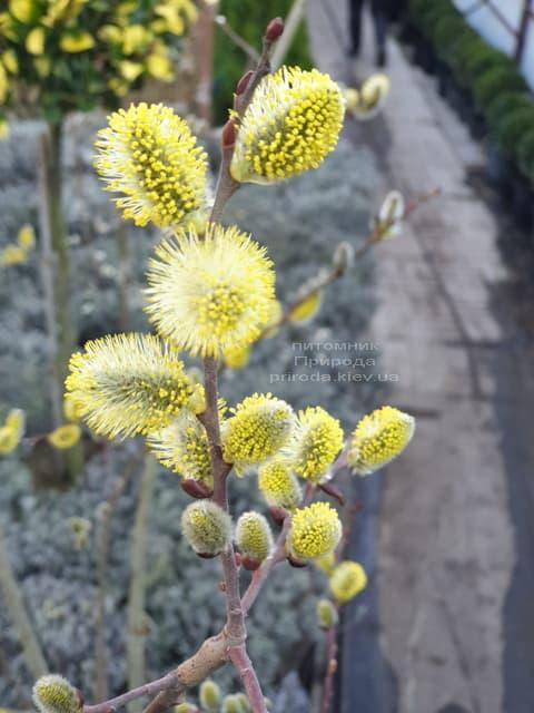 Ива козья (Salix caprea) ФОТО Питомник растений Природа (5)