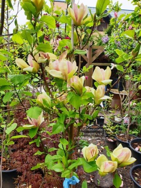 Магнолія Сенсація (Maqnolia Sunsation) ФОТО Розплідник рослин Природа (26)