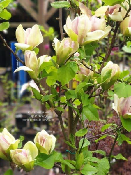 Магнолія Сенсація (Maqnolia Sunsation) ФОТО Розплідник рослин Природа (27)