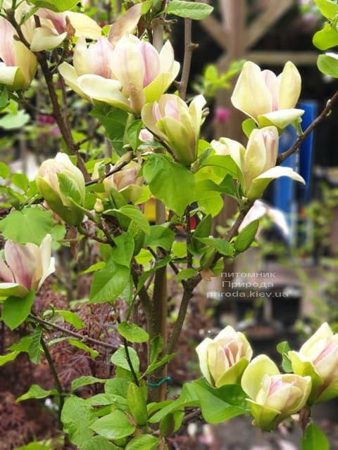 Магнолія Сенсація (Maqnolia Sunsation) ФОТО Розплідник рослин Природа (28)