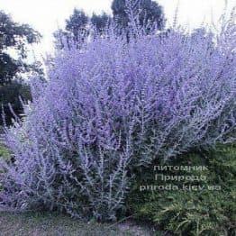 Перовська (Perovskia) ФОТО Розплідник рослин Природа (1)