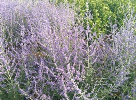 Перовська (Perovskia) ФОТО Розплідник рослин Природа (3)