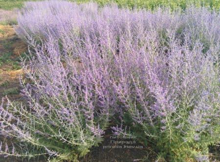 Перовська (Perovskia) ФОТО Розплідник рослин Природа (4)