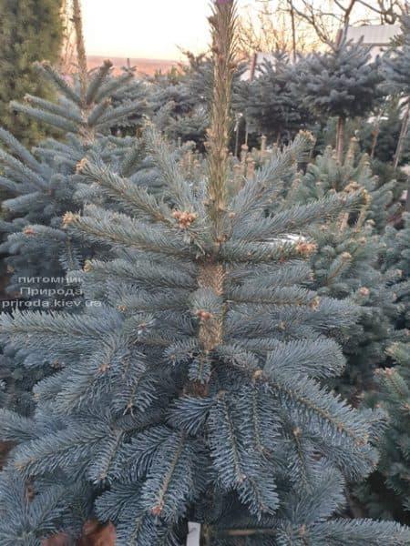 Ялиця гірська Аргентеа (Abies lasiocarpa Argentea) ФОТО Розплідник рослин Природа (4)