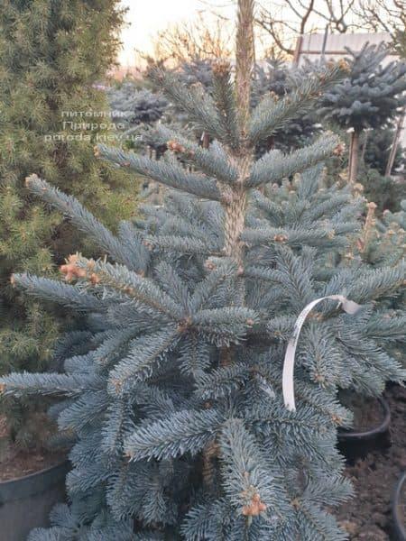 Ялиця гірська Аргентеа (Abies lasiocarpa Argentea) ФОТО Розплідник рослин Природа (5)