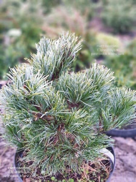 Сосна мелкоцветковая Темпельхоф (Pinus parviflora Tempelhof) ФОТО Питомник растений Природа (1)