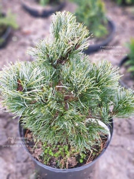 Сосна мелкоцветковая Темпельхоф (Pinus parviflora Tempelhof) ФОТО Питомник растений Природа (2)