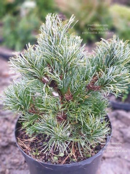 Сосна мелкоцветковая Темпельхоф (Pinus parviflora Tempelhof) ФОТО Питомник растений Природа (3)