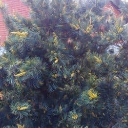 Сосна мелкоцветковая Темпельхоф (Pinus parviflora Tempelhof) ФОТО Питомник растений Природа (4)