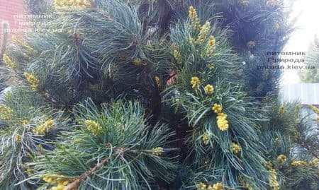 Сосна мелкоцветковая Темпельхоф (Pinus parviflora Tempelhof) ФОТО Питомник растений Природа (5)