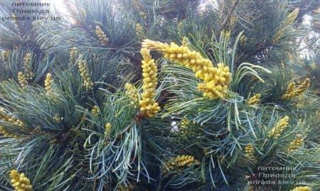Сосна мелкоцветковая Темпельхоф (Pinus parviflora Tempelhof) ФОТО Питомник растений Природа (6)