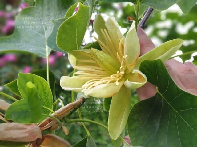 Тюльпановое дерево Лириодендрон (Liriodendron tulipifera) ФОТО Питомник растений Природа (20)