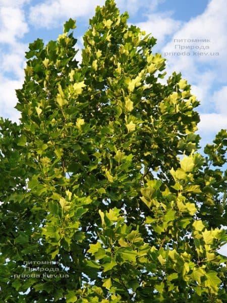 Тюльпановое дерево Лириодендрон (Liriodendron tulipifera) ФОТО Питомник растений Природа (21)