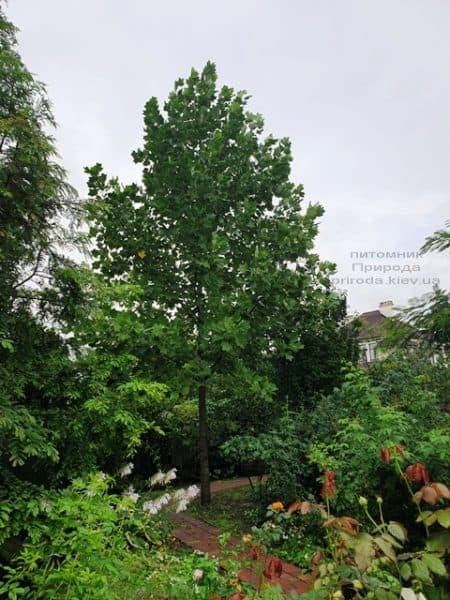 Тюльпановое дерево Лириодендрон (Liriodendron tulipifera) ФОТО Питомник растений Природа (22)