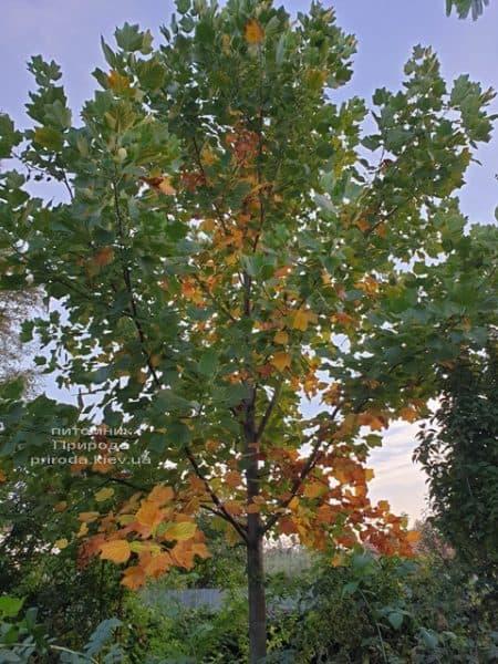 Тюльпановое дерево Лириодендрон (Liriodendron tulipifera) ФОТО Питомник растений Природа (24)