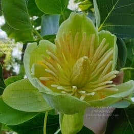 Тюльпановое дерево Лириодендрон (Liriodendron tulipifera) ФОТО Питомник растений Природа (30)