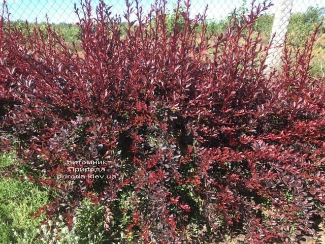 Барбарис Тунберга Ред Чіф (Berberis thunbergii Red Chief) ФОТО Розплідник рослин Природа (1)