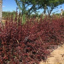 Барбарис Тунберга Рэд Чиф (Berberis thunbergii Red Chief) ФОТО Питомник растений Природа (2)