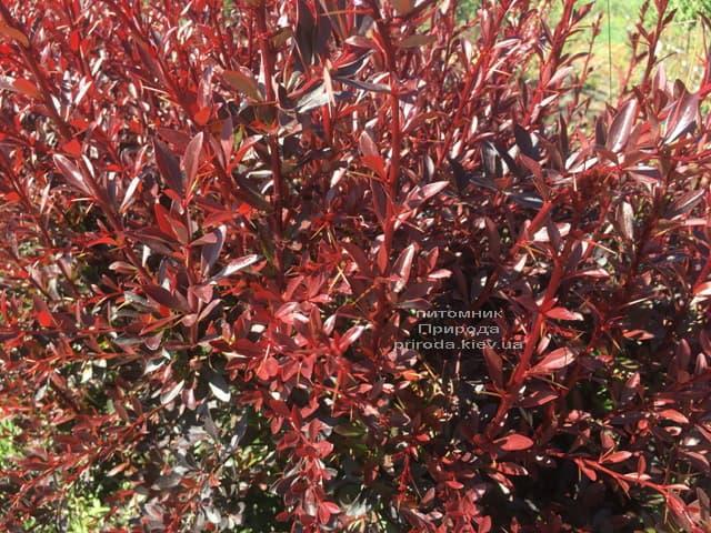 Барбарис Тунберга Ред Чіф (Berberis thunbergii Red Chief) ФОТО Розплідник рослин Природа (4)