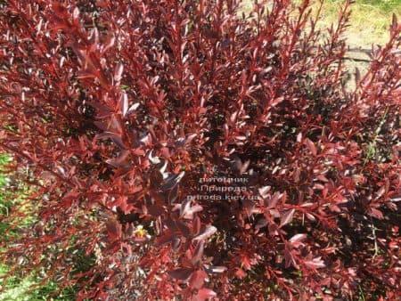 Барбарис Тунберга Ред Чіф (Berberis thunbergii Red Chief) ФОТО Розплідник рослин Природа (5)