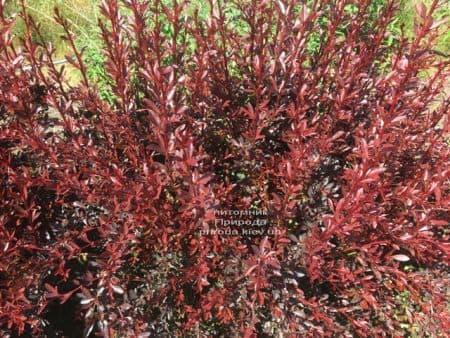Барбарис Тунберга Ред Чіф (Berberis thunbergii Red Chief) ФОТО Розплідник рослин Природа (6)