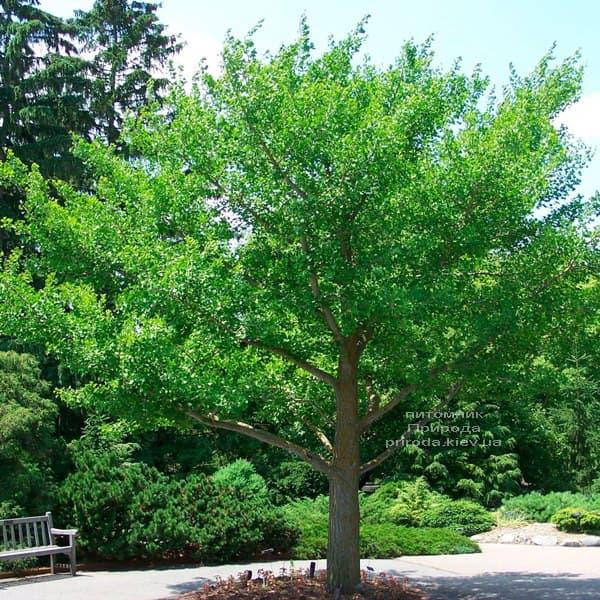 Гінкго дволопатеве білоба (Ginkgo biloba) ФОТО Розплідник рослин Природа (6)