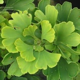 Гинкго двулопастный билоба (Ginkgo biloba) ФОТО Питомник растений Природа (10)